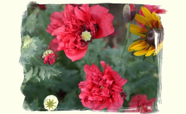 Kwiaty z wiejskiego ogródka